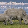 White Rhino Mother And Calf Grazing by Ingo Arndt