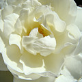 White Rose Art Prints Summer Sunlit Roses Baslee Troutman by Baslee Troutman