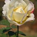 White Rose by Donald Tusa