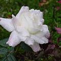 White Rose In Rain by Shirley Heyn