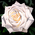 White Rose by Ora Sorensen