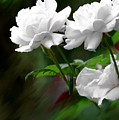 White Roses by Jim  Darnall