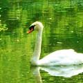 White Swan Swim In Pond by Robin Cordero