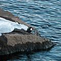 White-throated Dipper Nr 3 by Jouko Lehto