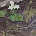 White Trillium  by Debbie Homewood