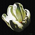 White Tulip by Sarah Loft