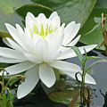 White Water Lily Wildflower - Nymphaeaceae by Mother Nature