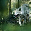 White Wolf Walking In Forest by Steve Somerville