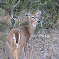 Whitetail Deer II by Stacey May