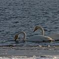 Whooper Swan Nr 2 by Jouko Lehto