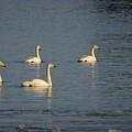 Whooper Swan Nr 8 by Jouko Lehto