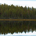 Whooper Swans Panorama  by Jouko Lehto