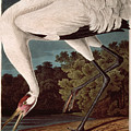 Whooping Crane by John James Audubon