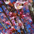 Wild Cherry Tree In Bloom by Garland Johnson
