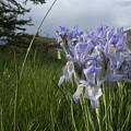 Wild Iris II by Susan Pedrini