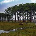 Wild Ponies Of Assateague by Lori Tambakis