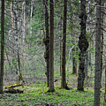Wild Spring Forest by Vadzim Kandratsenkau