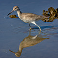 Willet Searching For Food In An Oyster Bed by Louise Heusinkveld
