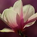 Wine And Cream Magnolia Blossom by Byron Varvarigos