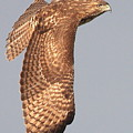 Wings Of A Red Tailed Hawk by Wingsdomain Art and Photography