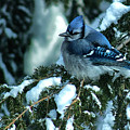 Winter Blue Jay by Andrew Oliver