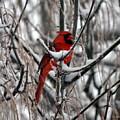 Winter Cardinal by Christina Davis