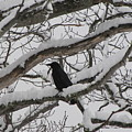 Winter Crow by Melissa Parks