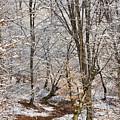Winter Forest by Gabriela Insuratelu