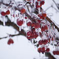 Winter Ice Berries by Richard Larson