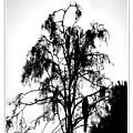 Winter Sky Wood Storks by Joseph Reilly