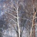 Winter Trees by Bob Schlake