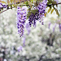 Wisteria by Darren Fisher