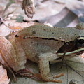 Wood Frog  by Joshua Bales