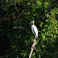 Wood Stork-out On A Limb by Al Powell Photography USA