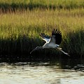 Wood Stork Winged Flight by Al Powell Photography USA