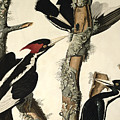 Woodpecker by John James Audubon