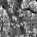 Wysteria Tree In Black And White by Karen Wagner