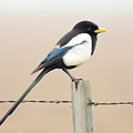 Yellow-billed Magpie by Wingsdomain Art and Photography