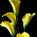 Yellow Calla Lilies  by Garry Gay