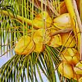 Yellow Coconuts- 01 by Dominica Alcantara