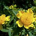 Yellow Crown Flower by Douglas Barnett