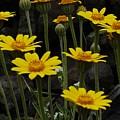 Yellow Daisies by Sara Stevenson