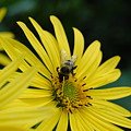 Yellow Daisy And Bee  by Patricia Hubbard
