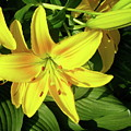 Yellow Day Lilies by Michael Peychich