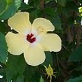 Yellow Hibiscus by Laurette Escobar