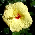 Yellow Hibiscus The Hawaiian State Flower by Chandelle Hazen