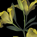 Yellow Lily On Black by Heather Kirk