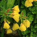 Yellow Lungwort 3 by Roger Soule