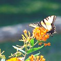 Yellow Monarch Butterfly by Penny Neimiller