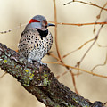 Yellow-shafted Northern Flicker by Betty LaRue